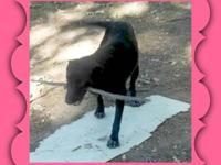 Labrador Retriever - Ashley - Medium - Young - Female -