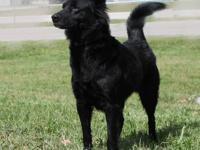 Labrador Retriever - Athena - Large - Adult - Female -