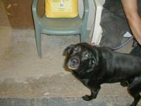 Labrador Retriever - Baily - Large - Adult - Female -