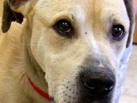 Labrador Retriever - Baloo - Large - Adult - Male -