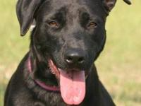 Labrador Retriever - Bambi - Medium - Young - Female -