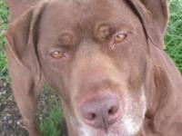Labrador Retriever - Bayview - Large - Adult - Male -