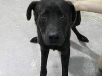 Labrador Retriever - Bear - Large - Adult - Male - Dog