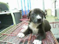 Labrador Retriever - Bear - Small - Baby - Male - Dog