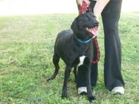 Labrador Retriever - Bebe - Medium - Young - Female -