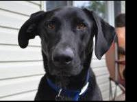 Labrador Retriever - Becca - Medium - Young - Female -