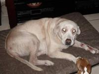 Labrador Retriever - Bella - Large - Adult - Female -