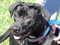 Labrador Retriever - Bella - Large - Young - Female -