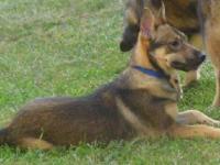 Labrador Retriever - Benny - Large - Adult - Male -