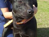 Labrador Retriever - Betty - Medium - Adult - Female -