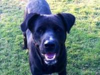Labrador Retriever - Big Black - Large - Adult - Male -