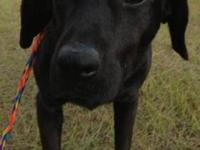 Labrador Retriever - Blackhawke - Large - Adult - Male