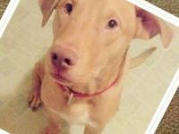 Labrador Retriever - Blackie - Medium - Adult - Male -