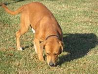 Labrador Retriever - Blake - Medium - Adult - Male -