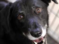Labrador Retriever - Blue - Medium - Adult - Male -
