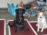 Labrador Retriever - Bodey - Large - Senior - Male -