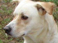 Labrador Retriever - Bolo - Medium - Adult - Male -