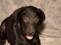 Labrador Retriever - Bonita - Medium - Young - Female -
