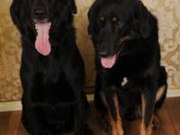 Labrador Retriever - Bonnie - Large - Adult - Female -