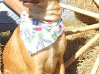 Labrador Retriever - Bonnie - Medium - Adult - Female -