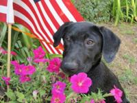 Labrador Retriever - Boomer - Large - Adult - Male -