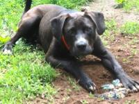 Labrador Retriever - Bowser - Large - Young - Male -