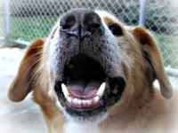 Labrador Retriever - Brady - Medium - Senior - Male -