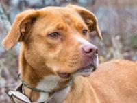 Labrador Retriever - Brenda - Medium - Young - Female -