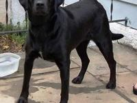 Labrador Retriever - Brie - Large - Adult - Female -