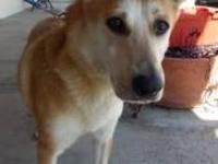 Labrador Retriever - Brindel - Large - Adult - Male -