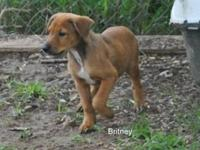 Labrador Retriever - Britney *b Litter - Large - Baby -