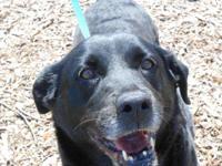 Labrador Retriever - Buba - Large - Adult - Female -