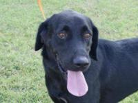 Labrador Retriever - Buddy Adpt Pend - Medium - Adult -
