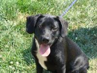Labrador Retriever - Buddy-just A Puppy :) - Medium -