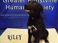 Labrador Retriever - Buddy - Medium - Young - Male -