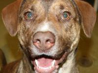 Labrador Retriever - Buster (aka Buster Brown) - Medium
