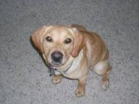 Labrador Retriever - Buster - Medium - Young - Male -