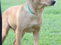Labrador Retriever - Buttercup - Medium - Adult -