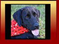 Labrador Retriever - Buzz - Medium - Young - Male -