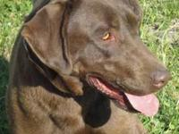 Labrador Retriever - C139 - Large - Adult - Female -