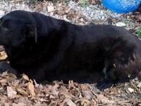 Labrador Retriever - C176 - Large - Adult - Female -