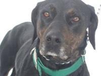 Labrador Retriever - Cali - Large - Adult - Female -