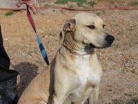 Labrador Retriever - Callie - Medium - Young - Female -