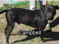 Labrador Retriever - Campbell - Large - Young - Male -