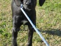 Labrador Retriever - Candy - Large - Young - Female -