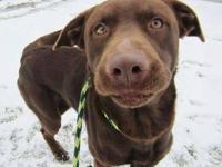 Labrador Retriever - Captain Stubing - Medium - Young -