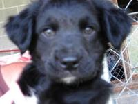Labrador Retriever - Caspian - Medium - Baby - Male -