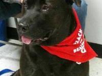 Labrador Retriever - Chance - Extra Large - Young -