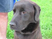 Labrador Retriever - Charlie Brown - Large - Adult -