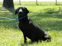 Labrador Retriever - Charlie - Large - Adult - Male -